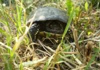 Mocsári teknős – Emys orbicularis
