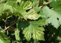 Mezőgazdasági mikrobiológia (növénykórtan) – Vírusok