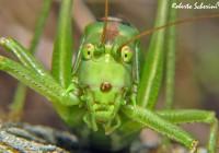 Zöld lombszöcske légzése