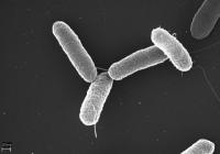 Talajbaktérium-készítmények (baktériumtrágyák)
