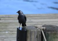 Csóka – Corvus monedula – Western jackdaw