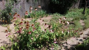 Bíbor kasvirág