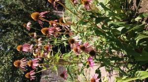 Bíbor kasvirág 2