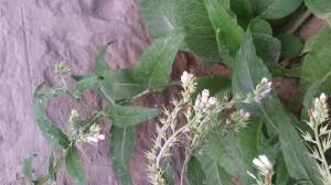 Fehér virágú fekete nadálytő 2